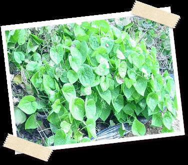 ヤムイモ「トゲドコロ」葉の写真